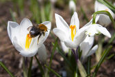 Crocus and humble-bee — Stock Photo