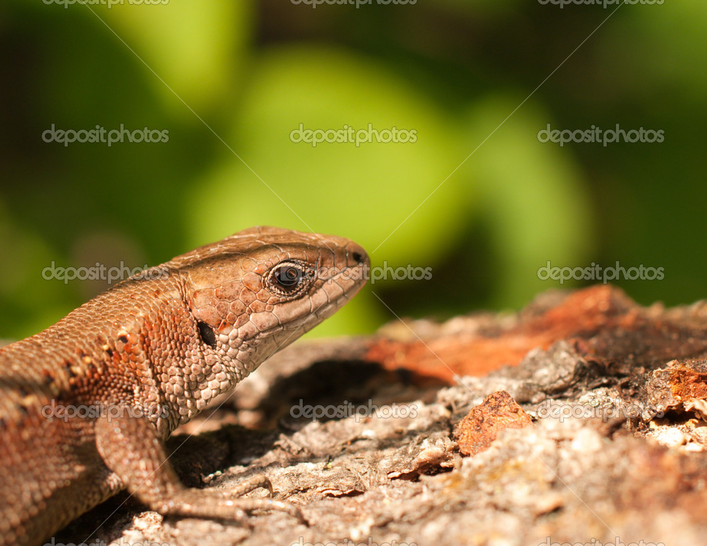 A close up photo of a lizard. — Stock Photo #2216774