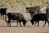 Bulls — Stock Photo
