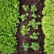 Planting of vegetables in spring — Stock Photo #2457642