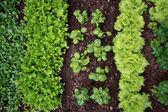 Planting of vegetables in spring — Stock Photo
