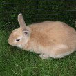Stock Photo: Dwarf rabbit