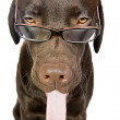 Chocolate Labrador with Glasses — Stock Photo