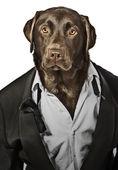 Cool Looking Labrador in Tuxedo - Top Dog — Stock Photo