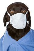 Chocolate Labrador Surgeon — Stock Photo
