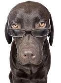 Cute and Clever Labrador with Glasses — Stock Photo