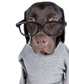 Intelligent Chocolate Labrador — Stock Photo