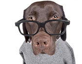 Intelligent Looking Chocolate Labrador — Stock Photo