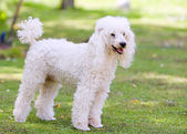 Poodle Standing in the Garden — Stock Photo