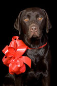 Gift Wrapped Chocolate Labrador — Stock Photo