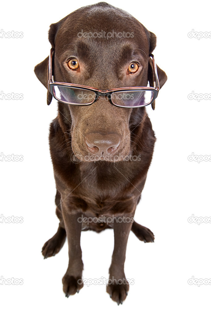 Clever Labrador with Glasses — Stock Photo #2217413