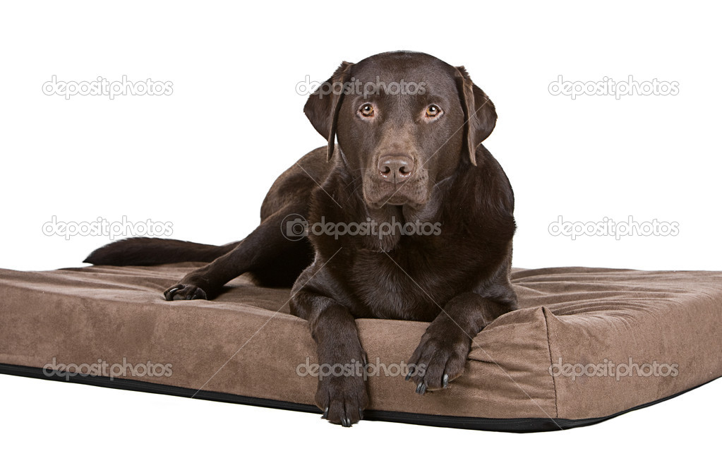 Shot of a Handsome Chocolate Labrador on His Memory Foam Bed. Comfy! — Stock Photo #2218092