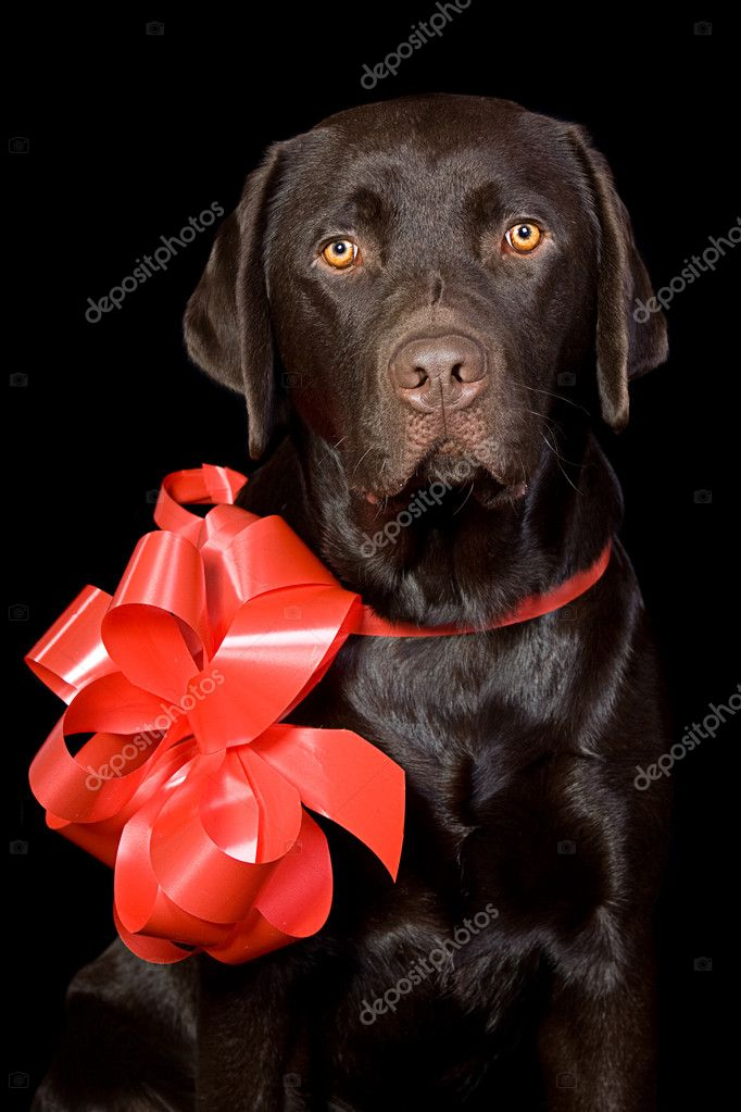 Gift Wrapped Chocolate Labrador  Stok fotoraf #2218620