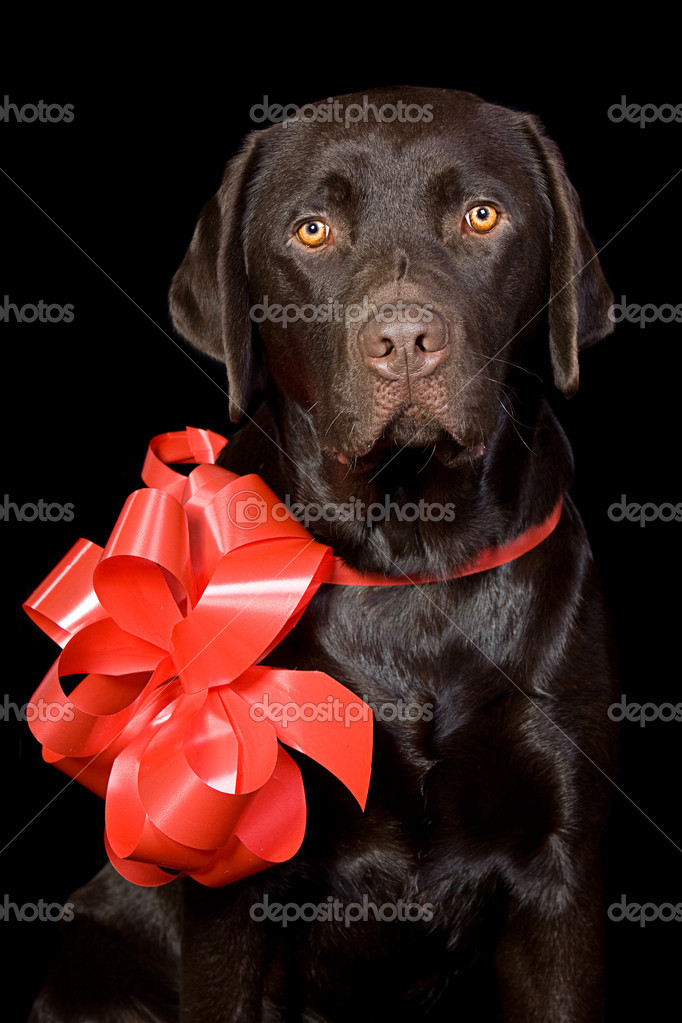 Gift Wrapped Chocolate Labrador — Foto de Stock   #2218620
