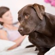 Labrador alert in owner's Bed — Stock Photo #2363567
