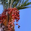 Fresh dates on tree 01 — Stock Photo