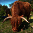 Royalty-Free Stock Photo: Highland cow HDR