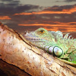 Lazy iguana 01 — Stock Photo
