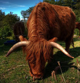 Highland cow HDR — Stock Photo