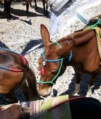 Santorini donkey — Stock Photo