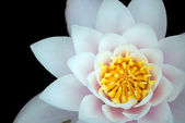 White lotus flower — Stock Photo