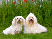 Two Bichon Havanais dogs — Stock Photo