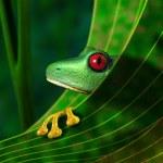 Endangered Rainforest Tree Frog — Stock Photo