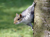 A squirrel peering from behind a tree — Stock Photo