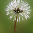 Magic dandelion — Stock Photo