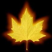 сияющий кленовый лист — Стоковое фото
