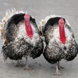Two turkeys — Stock Photo #2230326