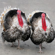 Stock Photo: Two turkeys