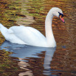 White swan — Stock Photo #2242284