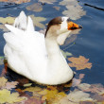 Ente im Teich — Stockfoto