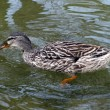 Stock Photo: Grey duck