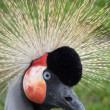Crowned crane — Stock Photo #2242720