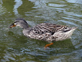 Grey duck — Stock Photo