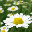 Camomile — Stock Photo #2261481