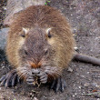 Eating nutria — Stock Photo