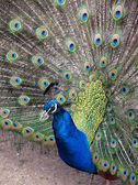 Peafowl with opened train — Stock Photo