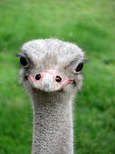 Smiling ostrich — Stock Photo