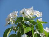 Apple-tree blooming — Stock Photo