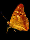 Golden butterfly — Stock Photo