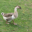 Goose — Stock Photo #2297670