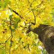 Stock Photo: Maple tree