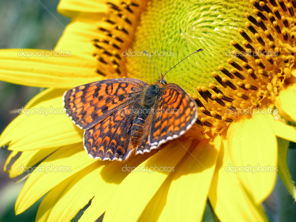 Butterfly sitting on a sunflower                               — Stock Photo #2314956