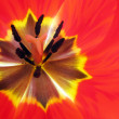 Stock Photo: Tulip inside