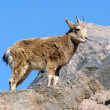 Stock Photo: Young wild goat