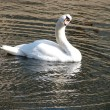 White swan — Stock Photo #2659425