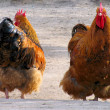 Cock and hen — Stock Photo #2671118